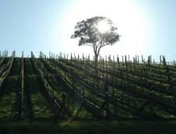 sun_vineyard