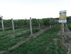 vinice-korinek