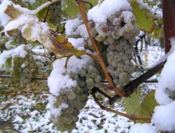 ice-wine