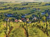 Blaufränkisch-vineyards