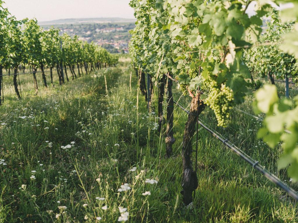 Hiedler Weingarten_by Julius Hirtzberger_2